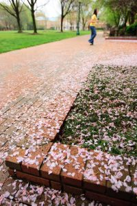 Cherry blossom petals line the brick walkway near Kitchin Hall.