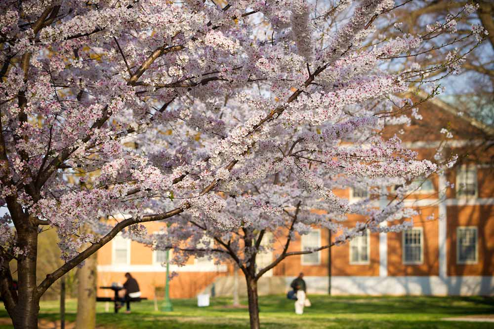 Cherry trees blossom in front of Olin Hall on the campus of Wake Forest University