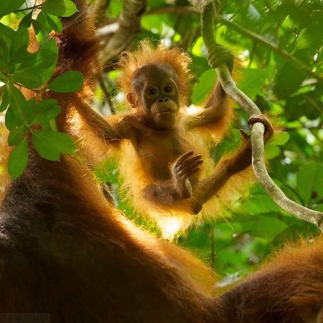 The Bornean rainforest, home to the endangered Bornean orangutan, is one of the oldest in the world. Photo by Tim Laman (timlaman.com); look for Tim's photos in an upcoming feature in National Geographic.