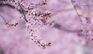 blossoms.300x174